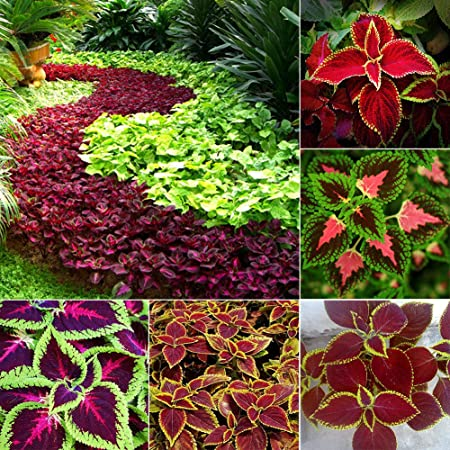 Amazon Com 50pcs Coleus Blumei Seeds Ornamental Leaves Plant