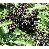 "Adams Elderberry Perennial Shrub - Sambucus - 3.25"" Pot"