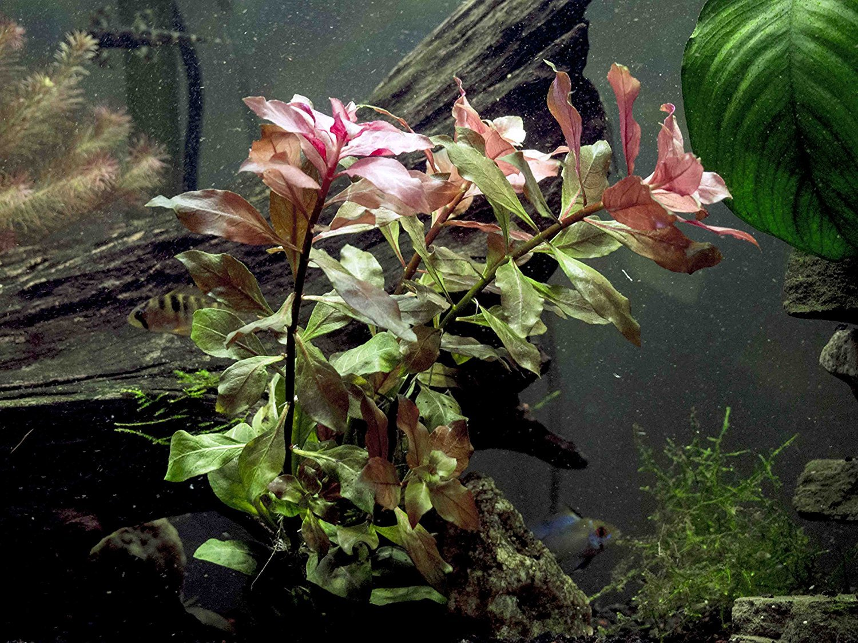 Dark Red Ludwigia - 2 Bunches - Large Live Aquarium Plant by Aquatic Arts by Aquatic Arts B00IAXHBJC