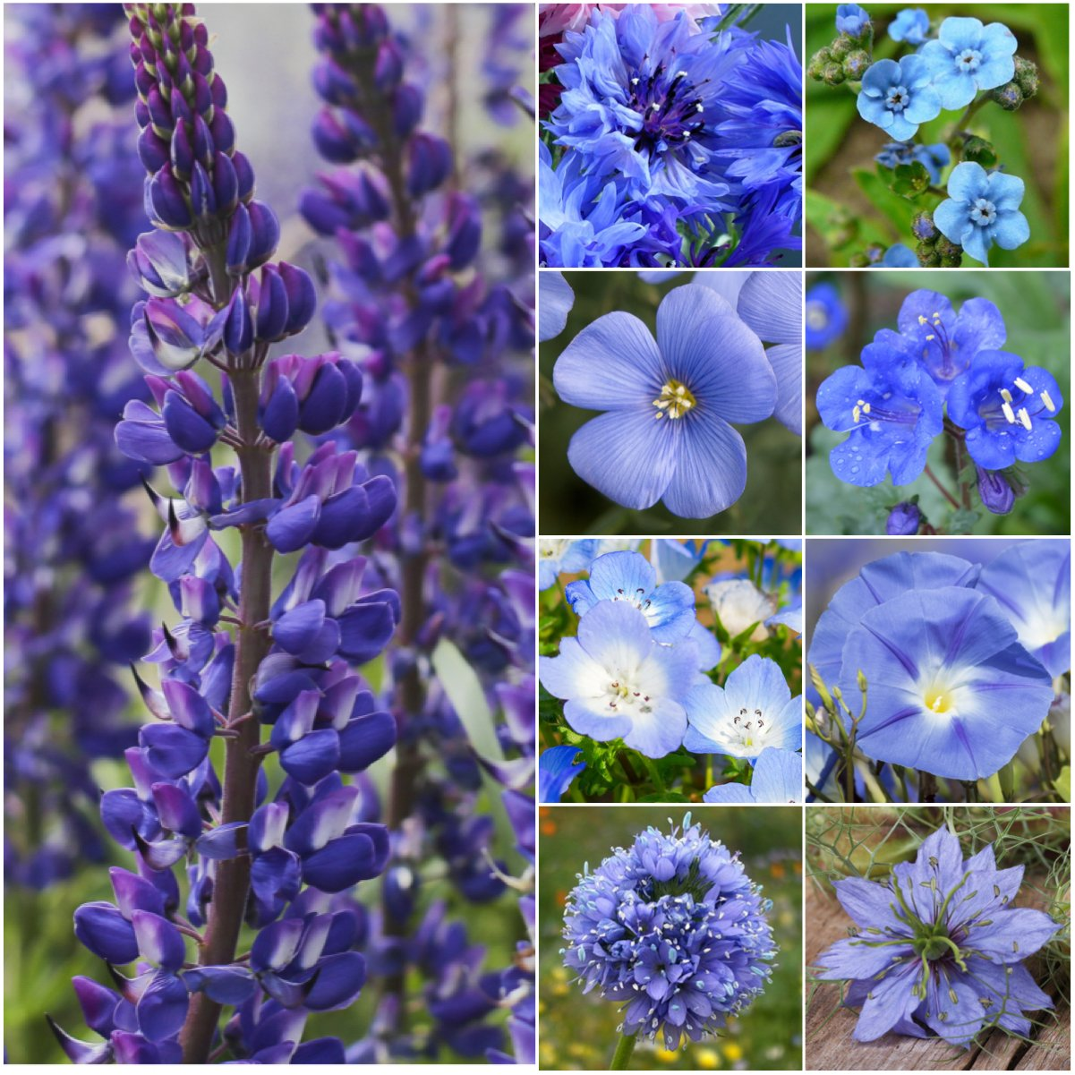 Bulk Package of 30,000 Seeds, Wildflower Mixture''Dazzling Blue'' (99% Pure Seed - 9 Species) Seeds by Seed Needs