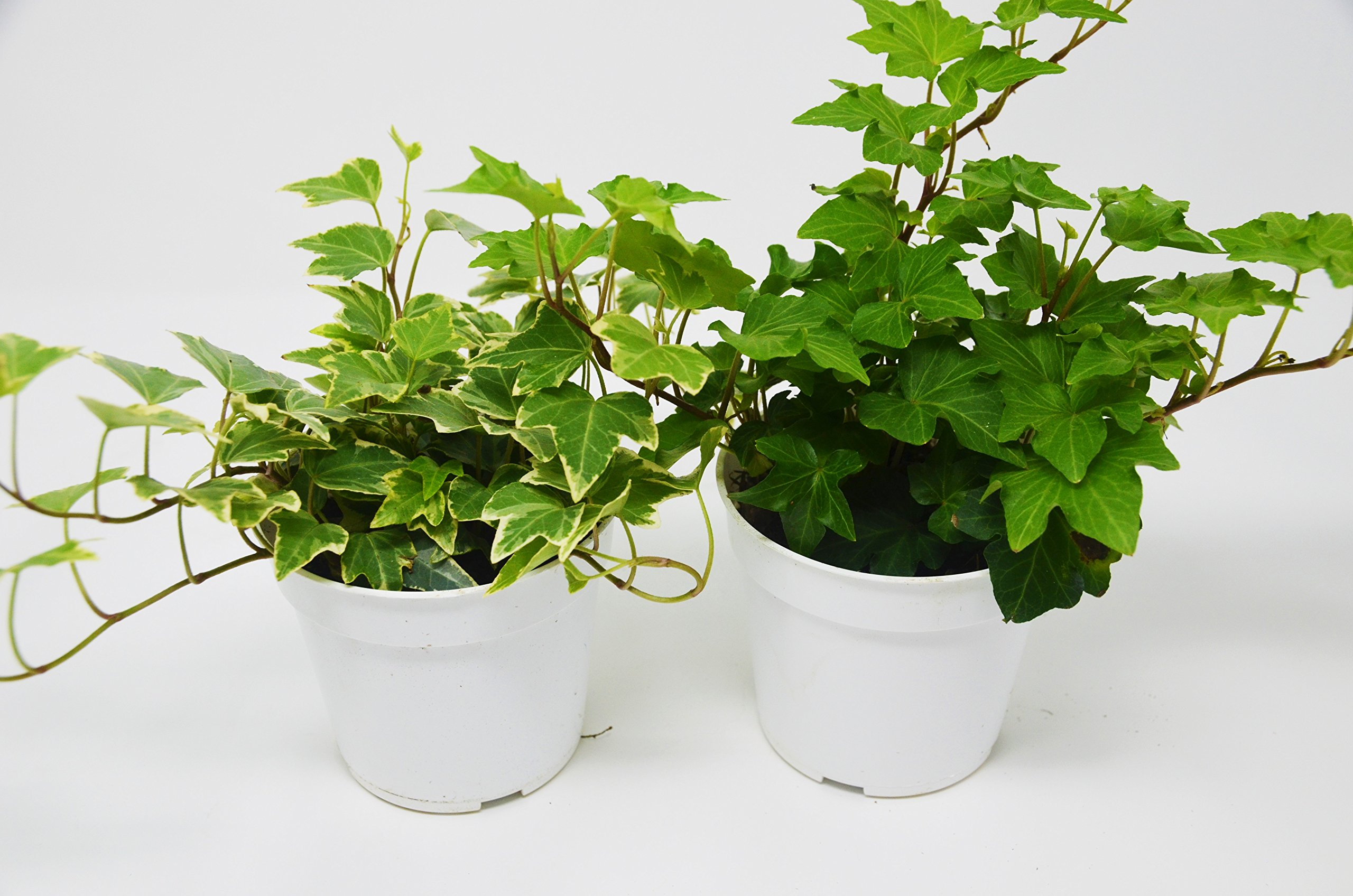 2 Different English Ivy plants- Live House Plant - FREE Care Guide - 4'' Pot - Ground Cover -