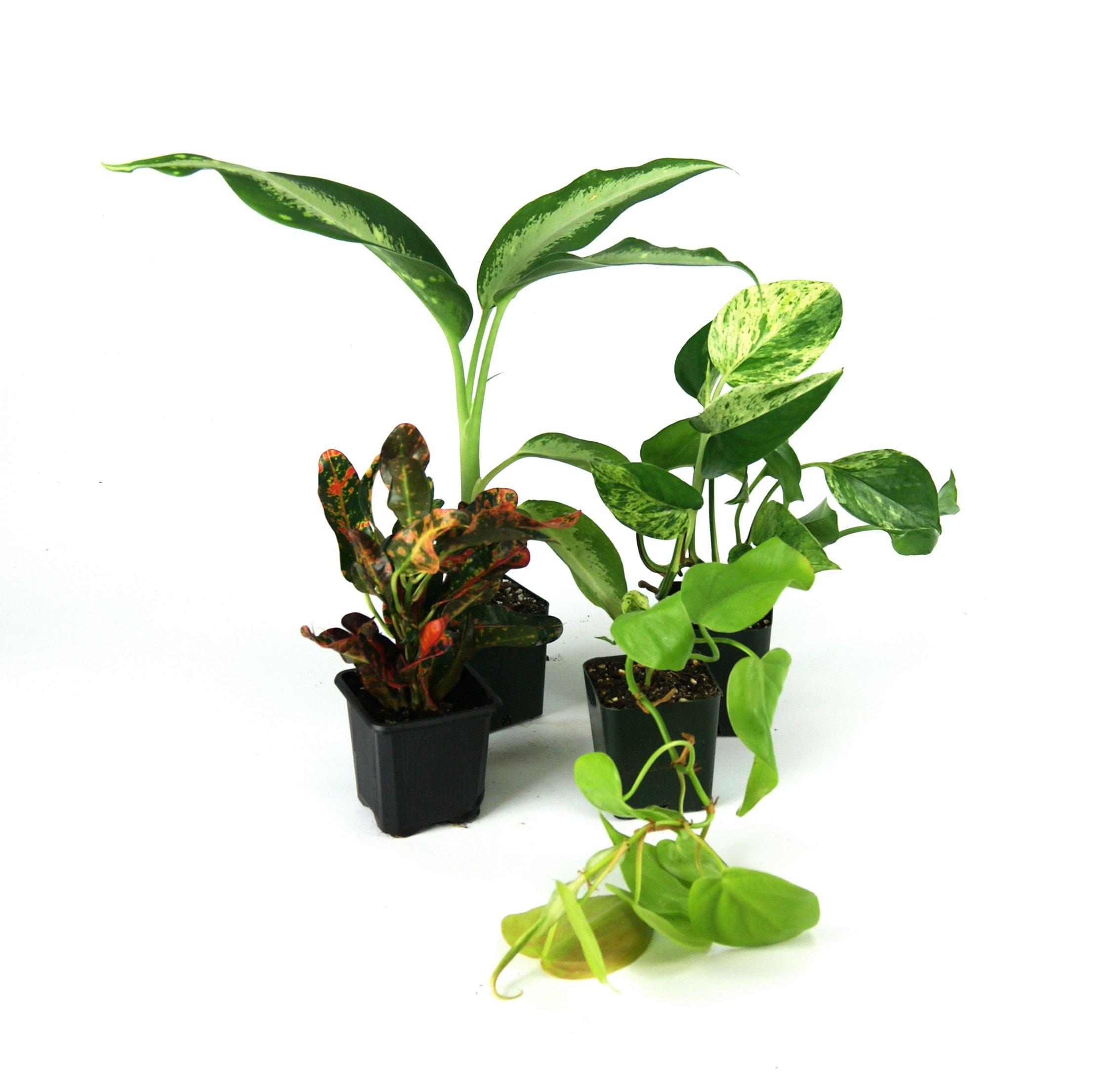 Large Crested Gecko Vivarium Plant Kit by Josh's Frogs