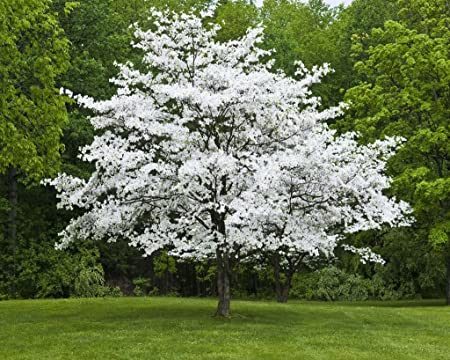 Amazon Com 1 White Flowering Dogwood Cornus Florida Garden
