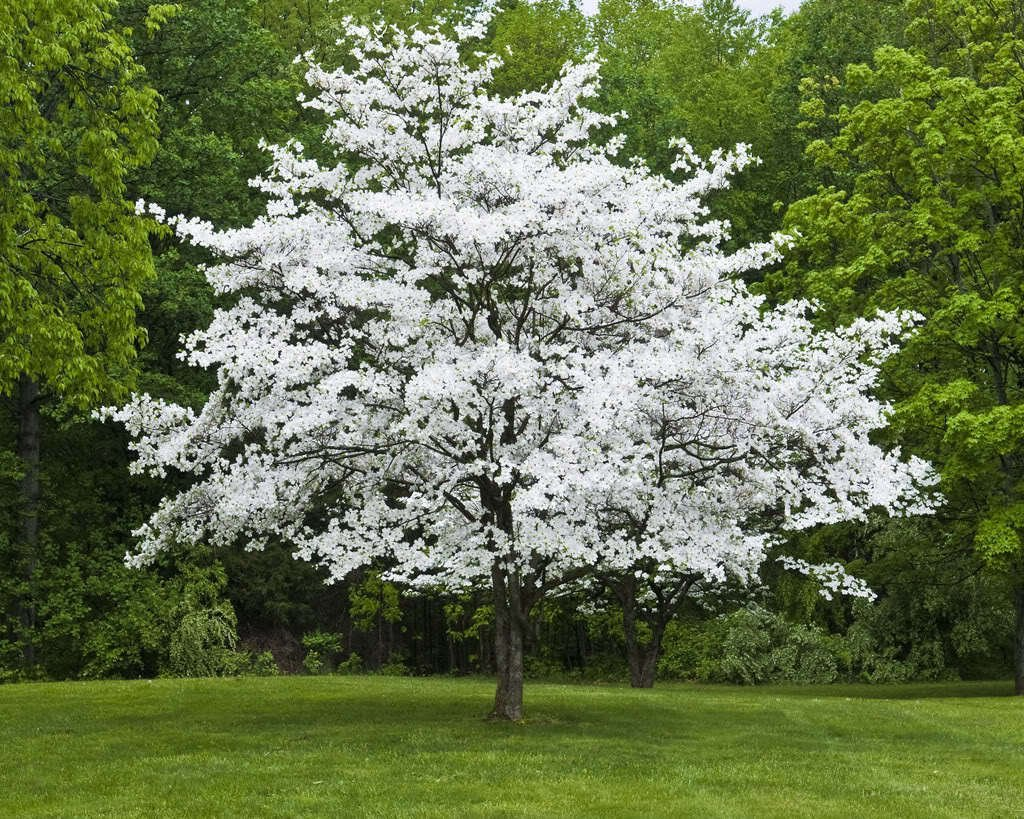 Amazoncom 1 White Flowering Dogwood Cornus Florida Garden