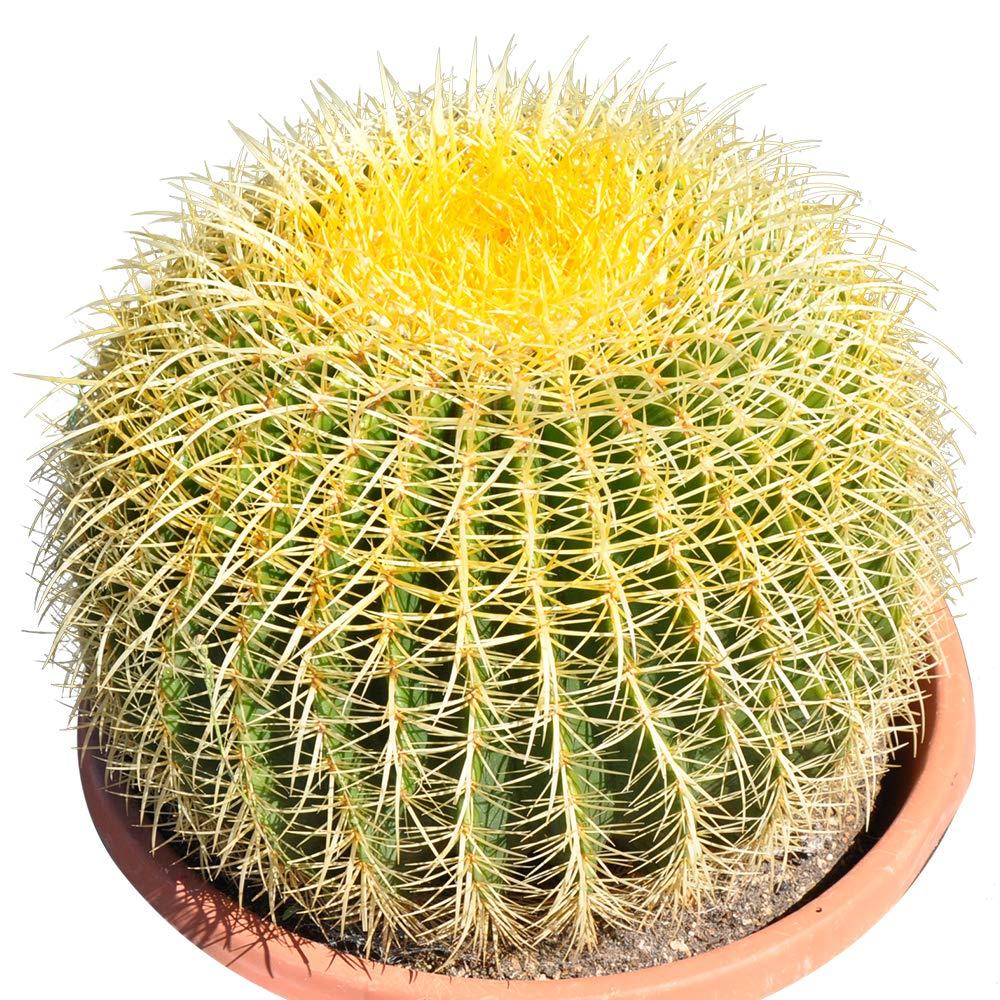 Golden Barrel' 14'' Plus Echinocactus Grusonii Cactus Specimen Very Large Drought Tolerant Plant