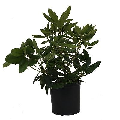 Premier Plant Solutions 11914 Roseum Elegans Rhododendron, 3 Gallon, Pink: Garden & Outdoor
