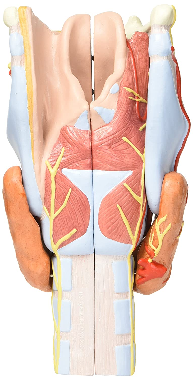 3B Scientific Menschliche Anatomie - Kehlkopfmodell, 2-fache Größe ...