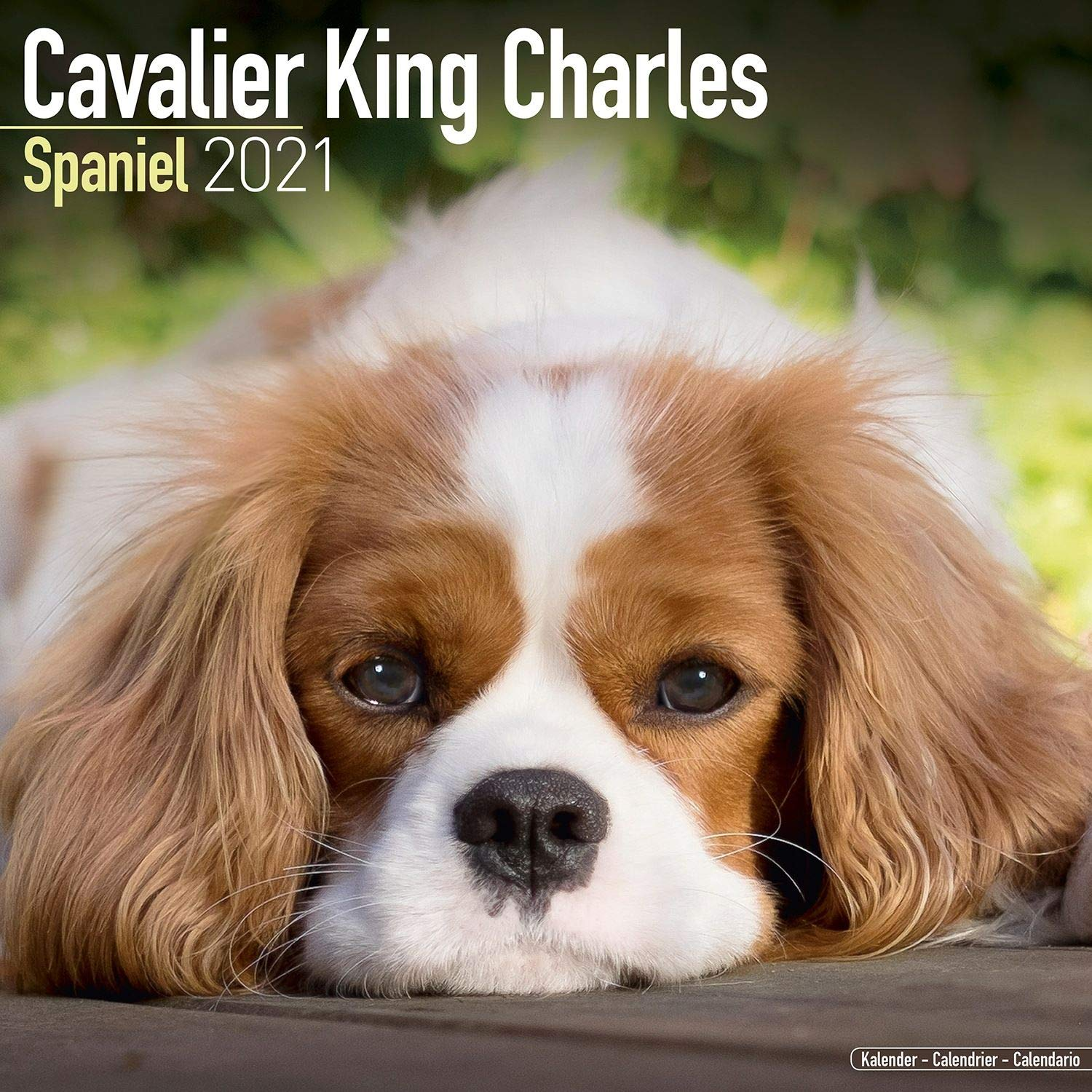 Cavalier King Charles Spaniel Calendar   Dog Breed Calendars
