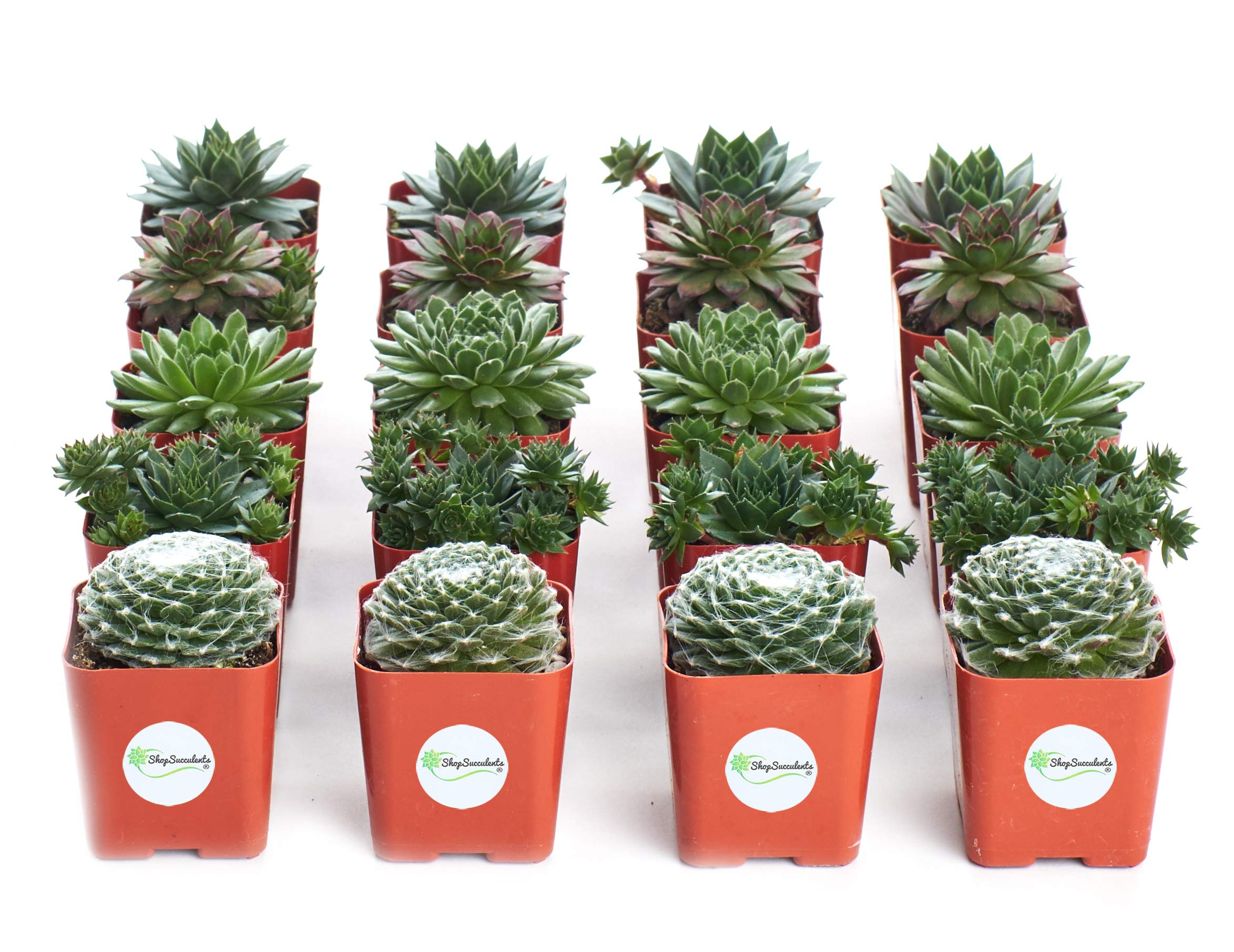 Shop Succulents   Sempervivum Hen and Chick, Hand Selected Variety Pack of Live Succulents   Collection of 20 in 2 pots, 20, Green by Shop Succulents