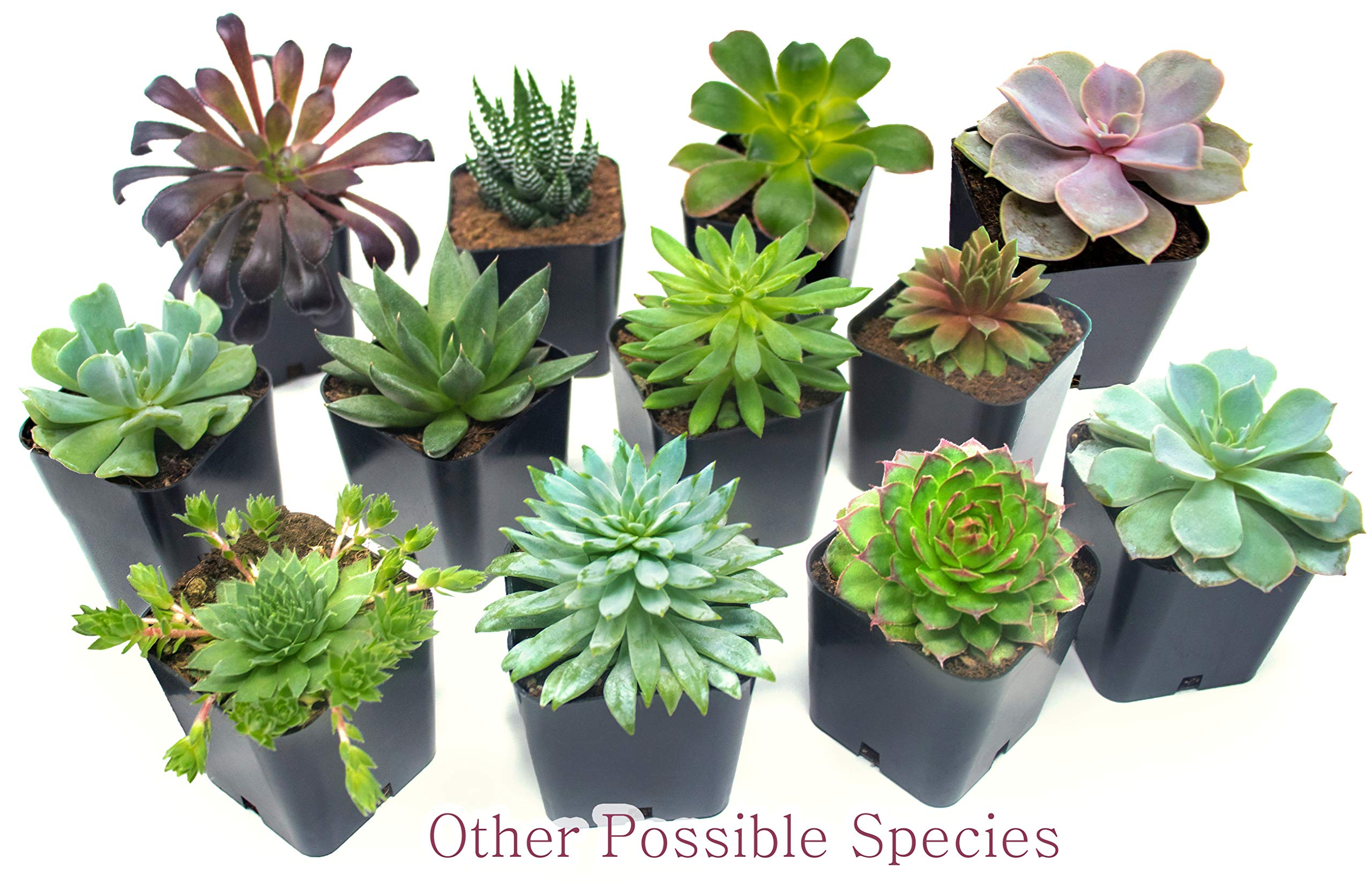 Succulent Plants (5 Pack), Fully Rooted in Planter Pots with Soil -  Real Live Potted Succulents / Unique Indoor Cactus Decor by Plants for Pets 12 HAND SELECTED: Every pack of succulents we send is hand-picked. You will receive a unique collection of species that are FULLY ROOTED IN 2 INCH POTS, which will be similar to the product photos (see photo 2 for scale). Note that we rotate our nursery stock often, so the exact species we send changes every week. THE EASIEST HOUSE PLANTS: More appealing than artificial plastic or fake faux plants, and care is a cinch. If you think you can't keep houseplants alive, you're wrong; our succulents don't require fertilizer and can be planted in a decorative pot of your choice within seconds. DIY HOME DECOR: The possibilities are only limited by your imagination; display them in a plant holder, a wall mount, a geometric glass vase, or even in a live wreath. Because of their amazingly low care requirements, they can even make the perfect desk centerpiece for your office.