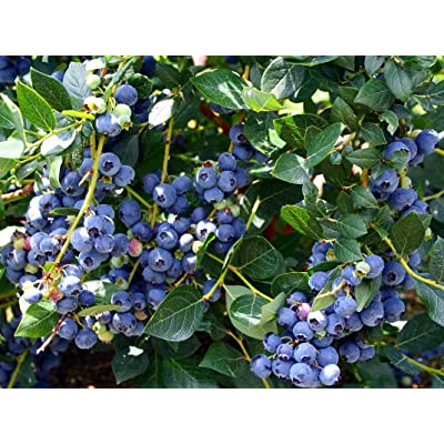 Hirt's Top Hat Dwarf Blueberry Plant - Bonsai/Patio/Outdoors: Grocery & Gourmet Food