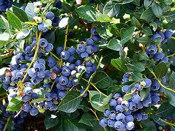 Hirtu0027s Top Hat Dwarf Blueberry Plant   Bonsai/Patio/Outdoors