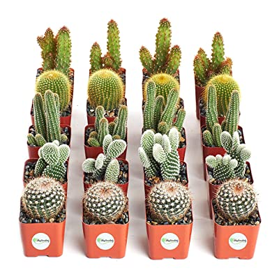 Shop Succulents | Cool Cactus Live Succulent Plants, Hand Selected Variety Pack of Cacti | Collection of 20, : Garden & Outdoor