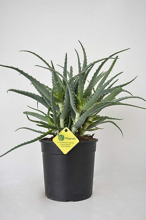 Piante Grasse Da Appartamento.Planti Pianta Vera Di Aloe Aloe Arborescens Pianta Grassa Da