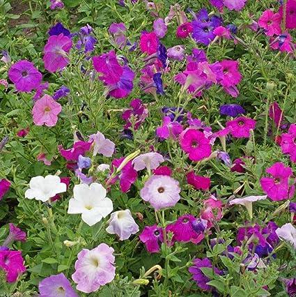 Amazon petunia seeds laura bush petuniamix purple pink petunia seeds laura bush petuniamix purple pink white flowers mightylinksfo