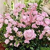 Fairy Rosen rosa - 3 pflanzen