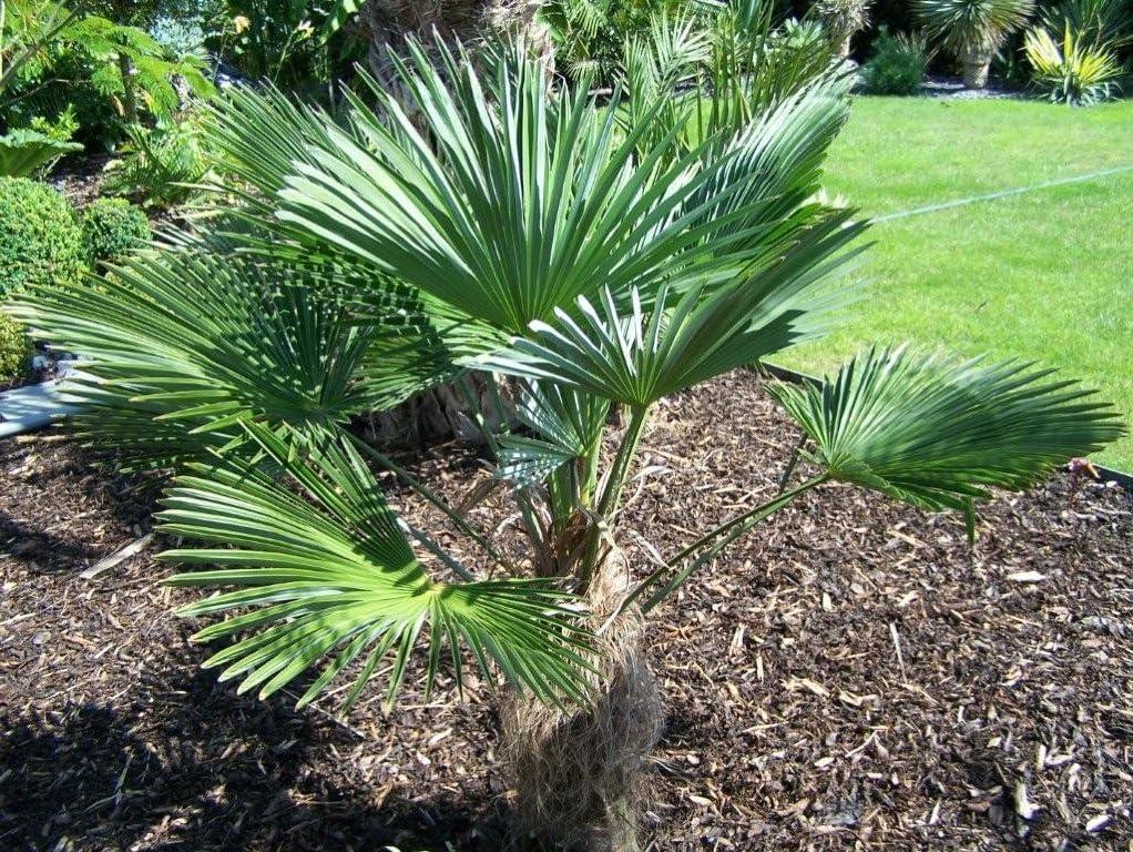 Trachycarpus Fortunei palmier rustique d/écoratif 20 Graines Fra/îches palmier /à chanvre