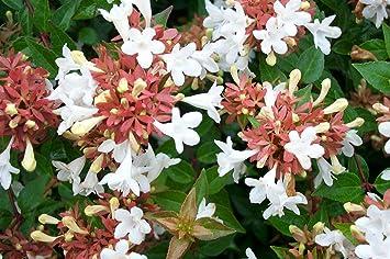 Amazoncom Starter Plant Abelia Little Richard Fragrant Plant