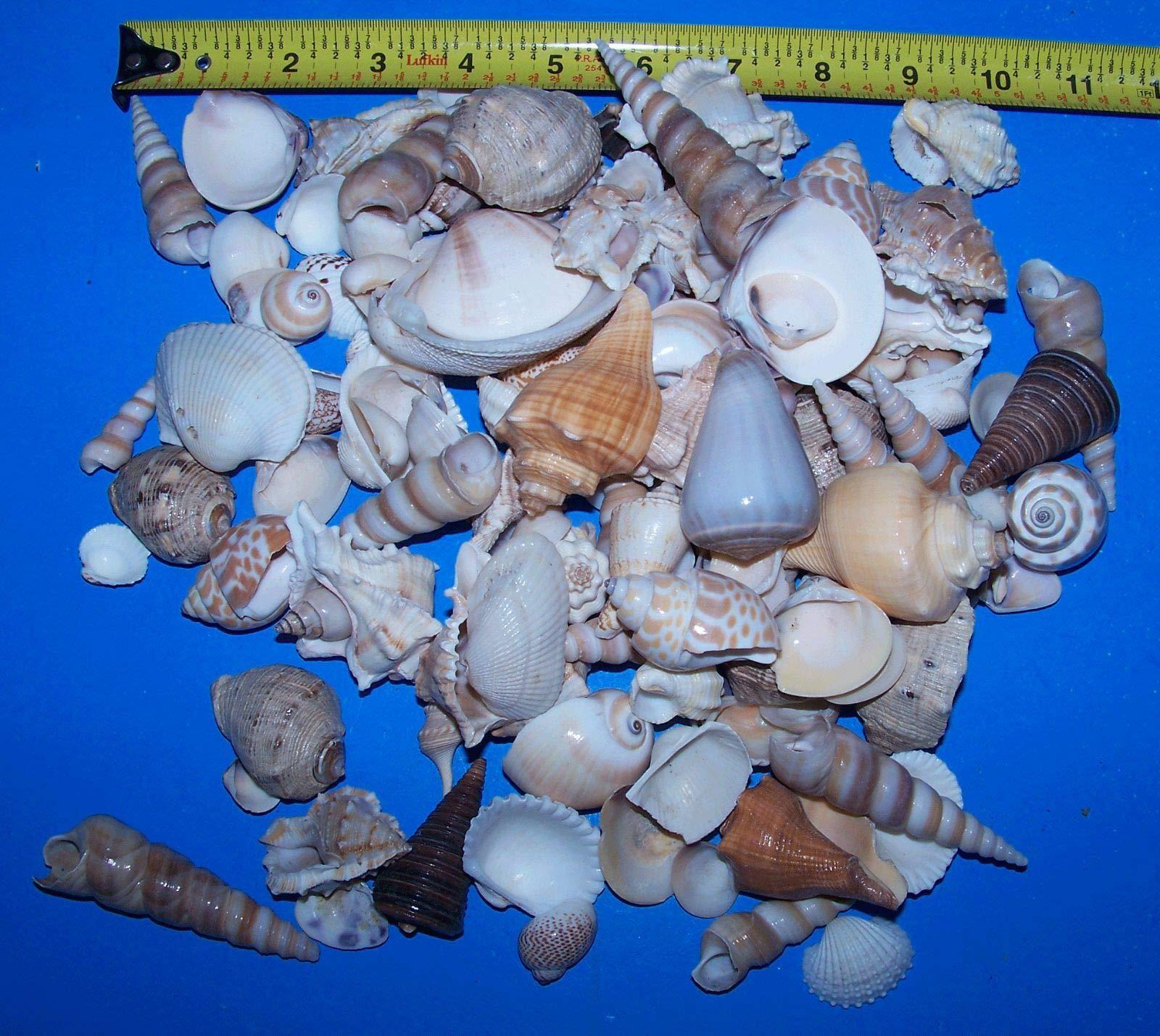 XLarge LOT 5+lbs Seashells 25 Starfish 5 Sand Dollars