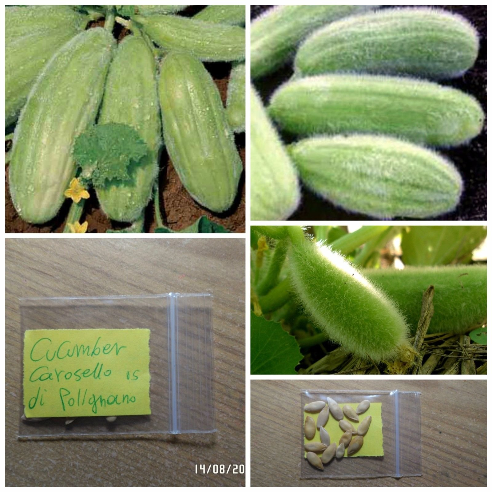 Rare Italian Cucumber ''Carosello di Polignano'' ~15 Top Quality Seeds - Organic by sivri-gr2013
