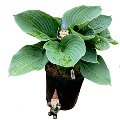 Hosta Sieboldiana Elegance in 1 Gallon pot (Blue Hosta): Garden & Outdoor