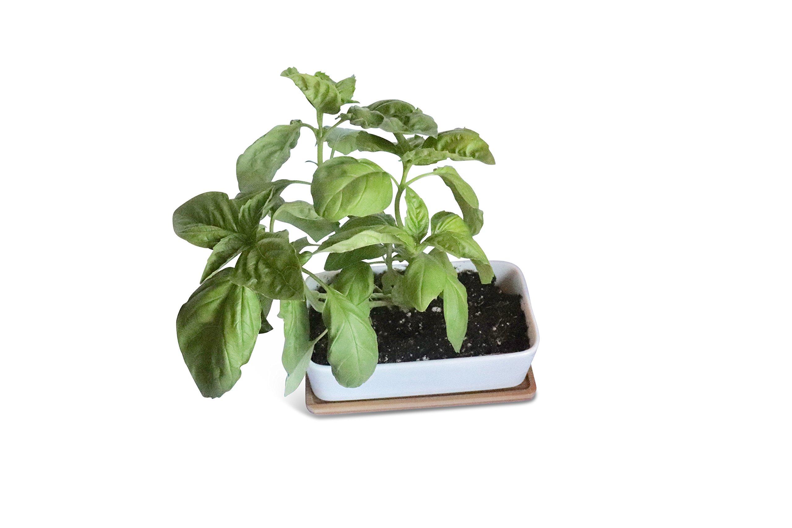 Set of 1+2 Kitchen Herb Garden Seed Starter Self Grow Kits for Windowsill. Indoor Vegetable Planter Pots Kit w/Heirloom Non GMO Organic Herbs Basil, Parsley, Oregano. Wider Mason Jars Gardening Gift