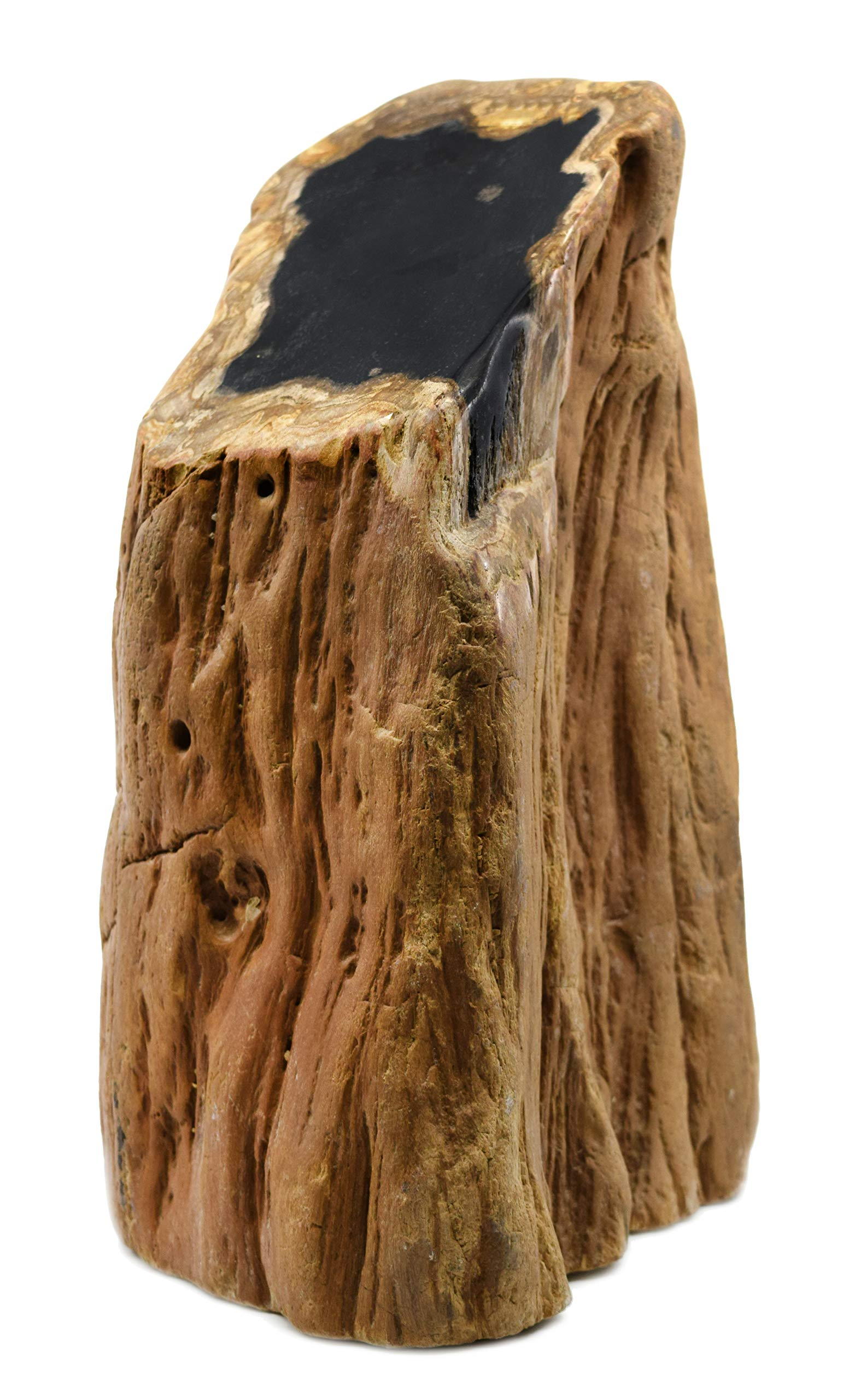 Petrified Wood, 30lbs - Freeform Piece with Polished, Angled Cross Section Cut - 100% Authentic Fossilized Wood - The Artisan Mined Series by hBAR