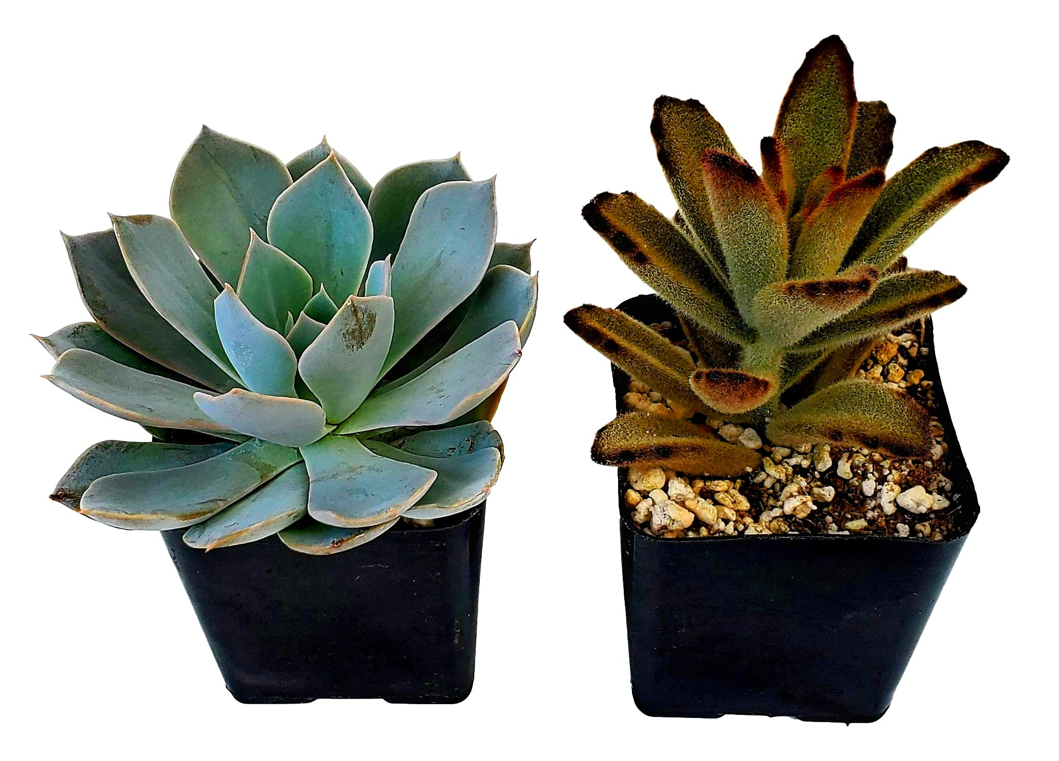 FATPLANTS Succulent Plants in Gift Box | Rooted in 2 inch Planter Pots with Soil | Living Indoor or Outdoor Plants | Home Decor, Gifts, Shower & Wedding Decorations (2) by Fat Plants San Diego
