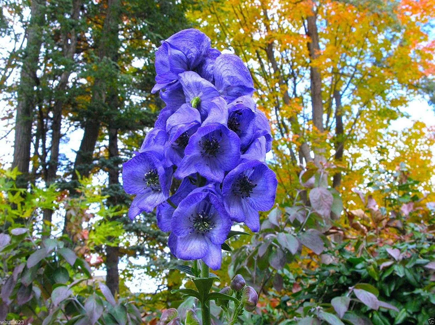 Image result for Aconitum