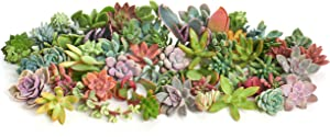 Shop Succulents   Assorted Collection of Live Succulent Cuttings, Hand Selected Variety Pack of Cut Succulents, Great for Growing New Plants - DIY Gardening   Collection of 100