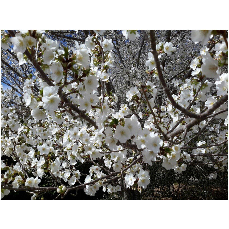 Snow Goose Flowering Cherry Tree - Prunus Serrulata