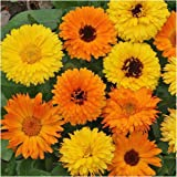 """Package of 500 Seeds, Calendula """"Pacific Beauty Mixture"""" (Calendula officinalis) Non-GMO Seeds by Seed Needs"""