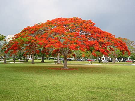 Amazon Com 2 Red Royal Poinciana Live Tree Red Delonix Regia Live Tree Garden Outdoor