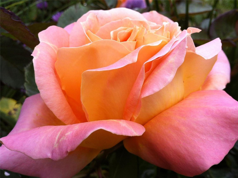 Garden Bush Rose 'Alpine Sunset' in a 3.5 litre Pot Perfect Plants