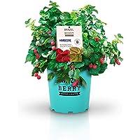 Himbeere: BrazelBerry 'Raspberry Shortcake' | die kompakte, dornenfreie Himbeere | Obst für Garten, Terrasse, Balkon oder Kübel