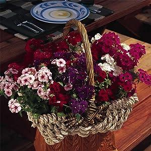 Phlox - 21st Century Flower Seed Mix - 100 Seeds - Annual Flower Gardening - AAS Award Winner - Bicolor Blooms - Garden Flowers
