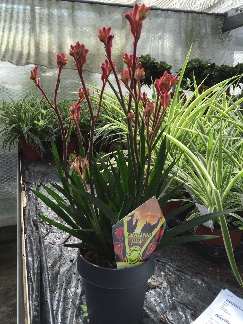 Anigozanthos flavidus RED plant in a 14cm Pot. Kangaroo Paw house plant Perfect Plants