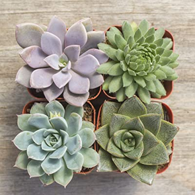 Succulent Plants | Real Life Plants | Greenhouse Grown | Farm Direct | Interior House Plants (4): Home & Kitchen