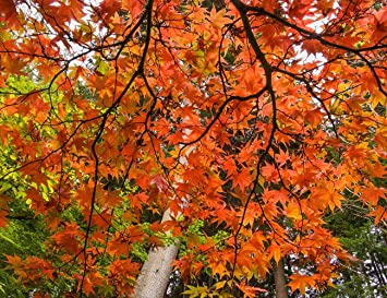 Amazon Com Japanese Maple Fall Color Bloedel Reserve By Tom