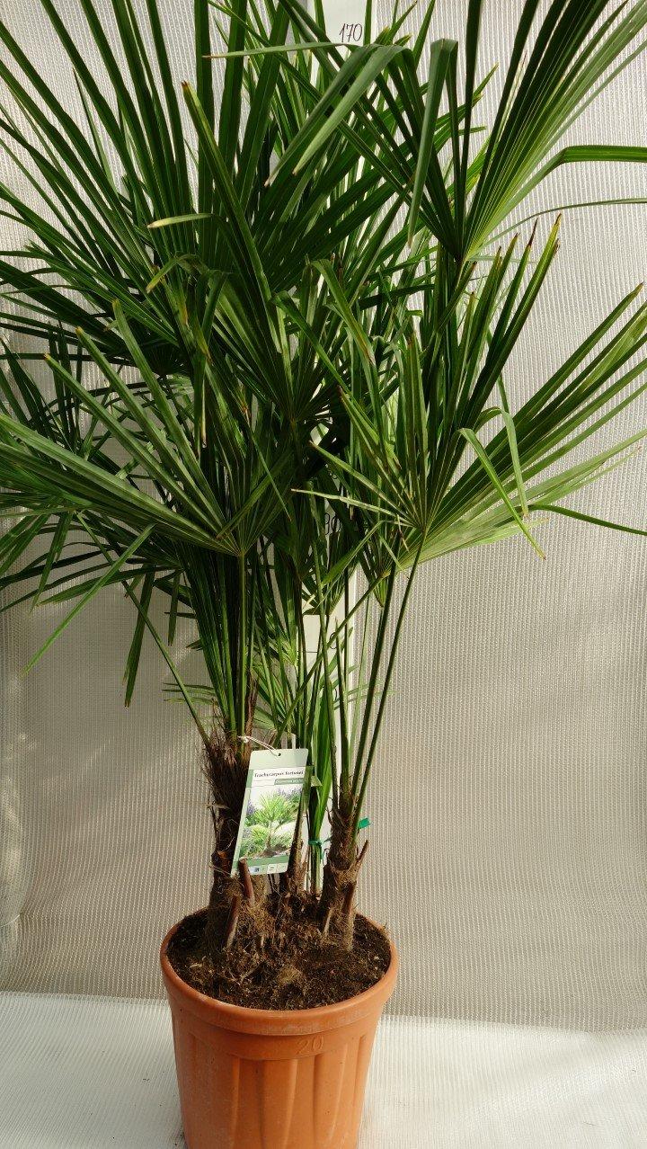 Winterharte Hanfpalme - Trachycarpus fortunei MULTISTAMM - verschiedene Größen - PALLETTENVERSAND (150-170cm - Topf 25Ltr.)