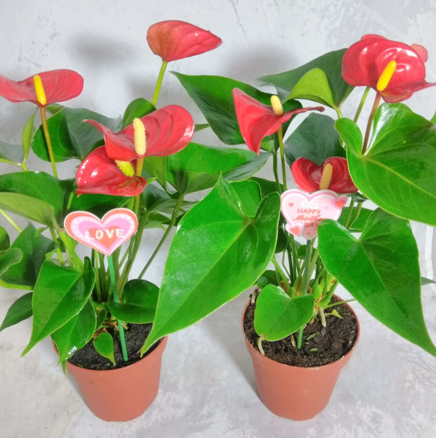 two Mother's gift - Summer Special - Hawaiian Red Anthurium Plant 8 - 10 Inches