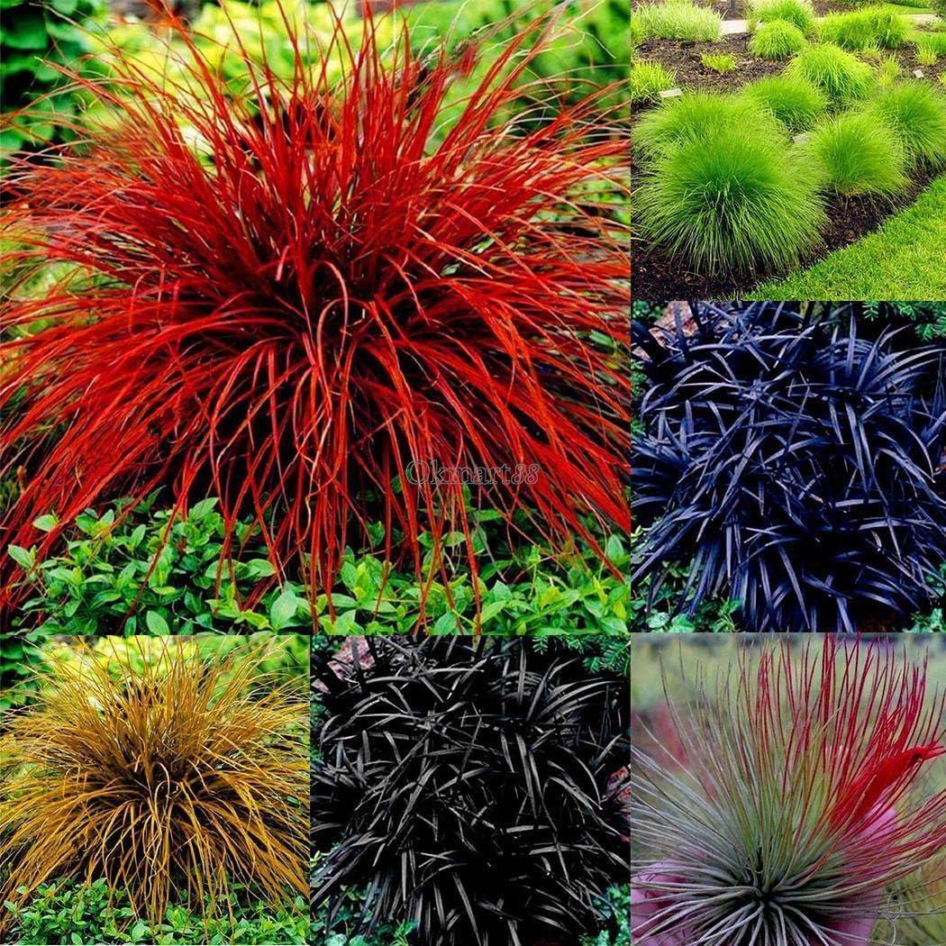 ASTONISH: Negro: Nueva flor bonita y adorable Fragant Blooms Pineapple Grass Seeds Ok 03