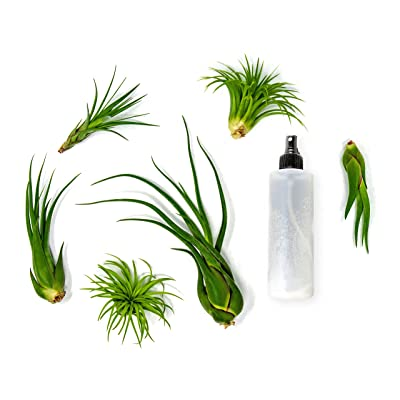 6 Air Plant Terrarium Kit | Large Tillandsia Variety Pack with Spray Bottle Mister for Fertilizer | Live Assorted Indoor Airplants by Plants for Pets: Grocery & Gourmet Food