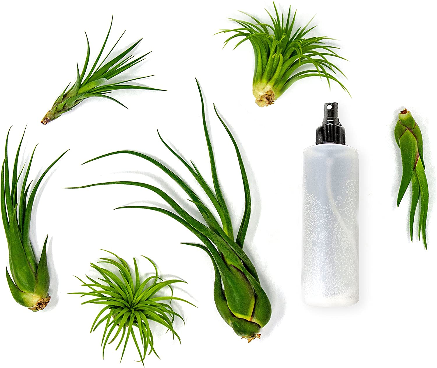 Plants for Pets 24 Air Plant Variety Pack Large Tillandsia Terrarium Kit with Spray Bottle Mister for Water Fertilizer Assorted Live Airplants