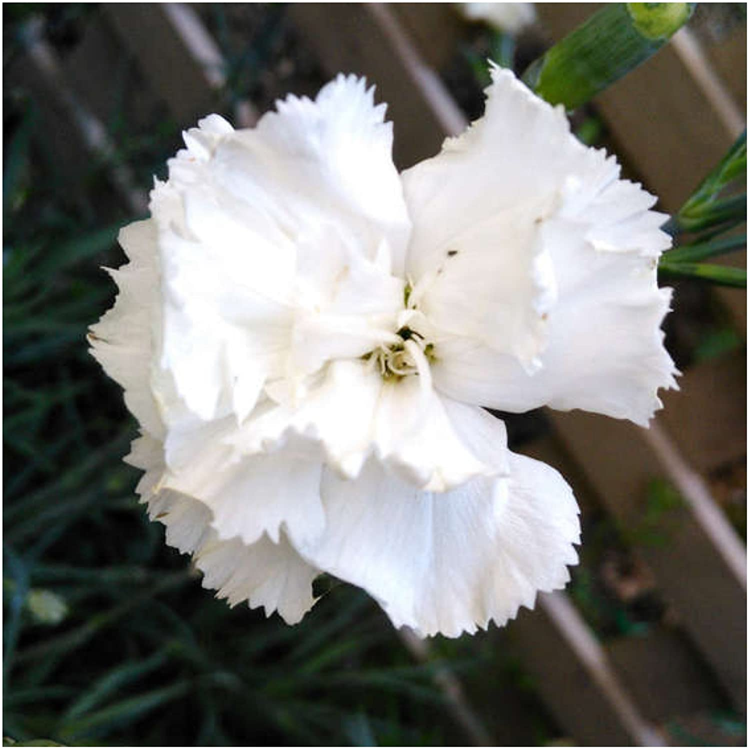 Amazon Package Of 500 Seeds Grenadin White Carnation