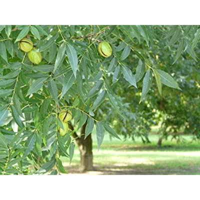 5 Gallon, Moreland Pecan Tree, Papershell nut with Size and Shape of Stuart, Extremely high Oil Content, NO POLLINATOR Required : Garden & Outdoor