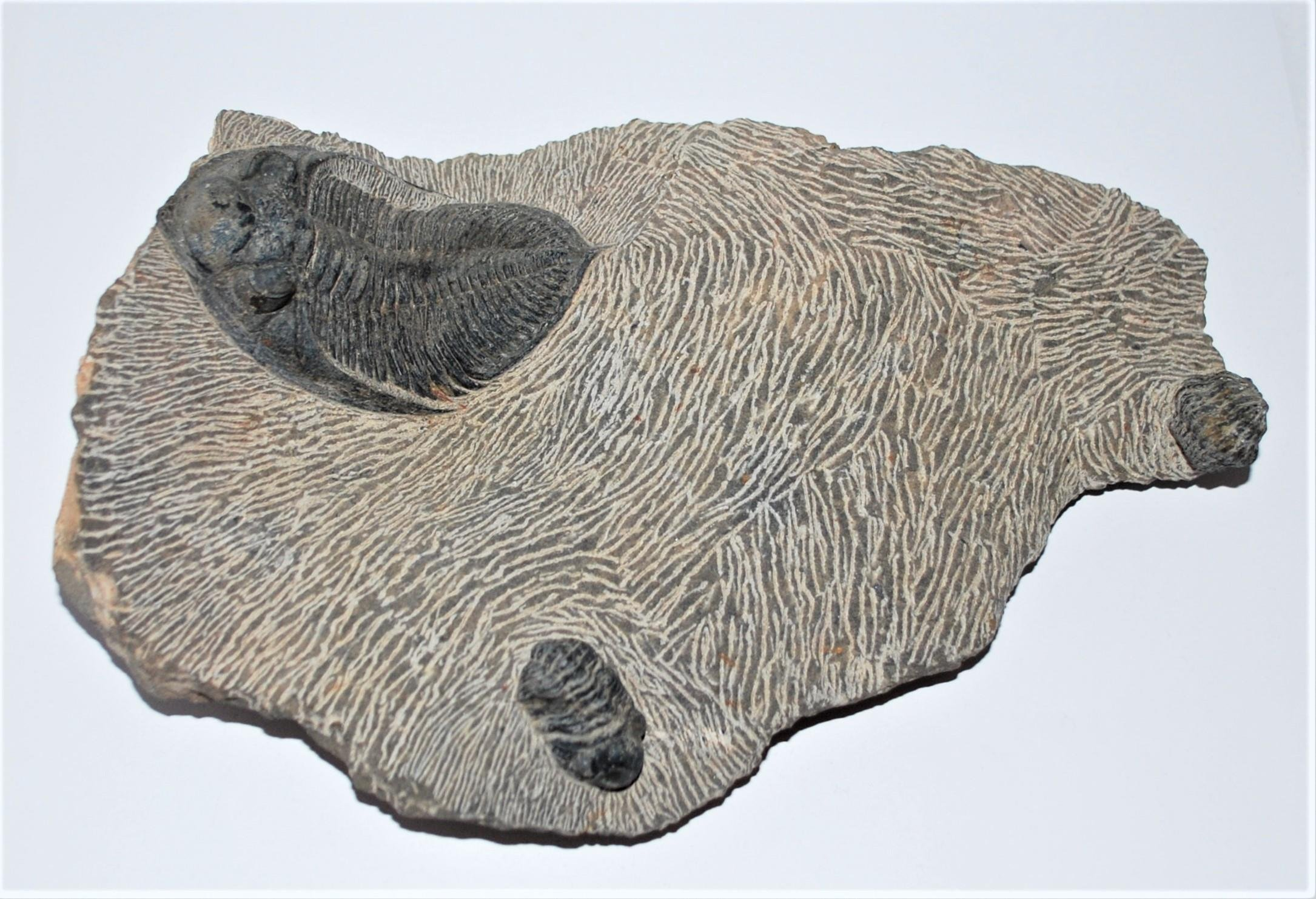 Odontochile, Reedops & Crotalocephalus TRILOBITES Fossil 400 Mil Yr Old #2846