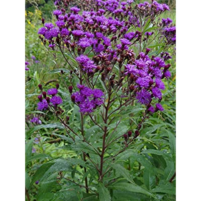 400 Seeds of Vernonia noveboracensis, New York Ironweed : Garden & Outdoor