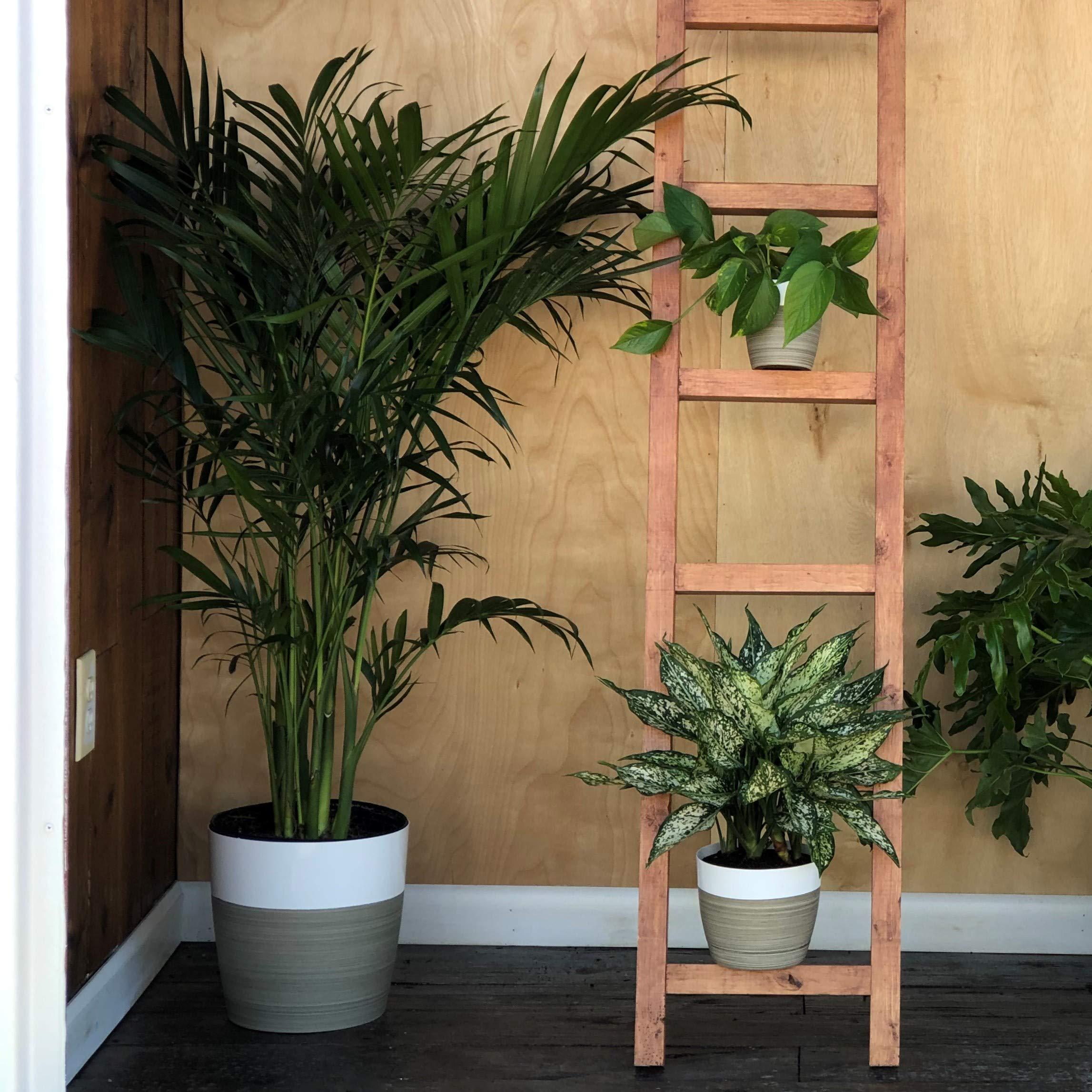 Costa Farms Live Areca Palm in Decor Planter, 3-Foot, White-Natural by Costa Farms (Image #3)