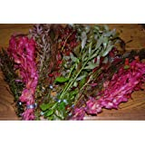 25 RED & PINK Bunched & Weighted Live Aquarium Plants - Aquatic Plants for your fish tank